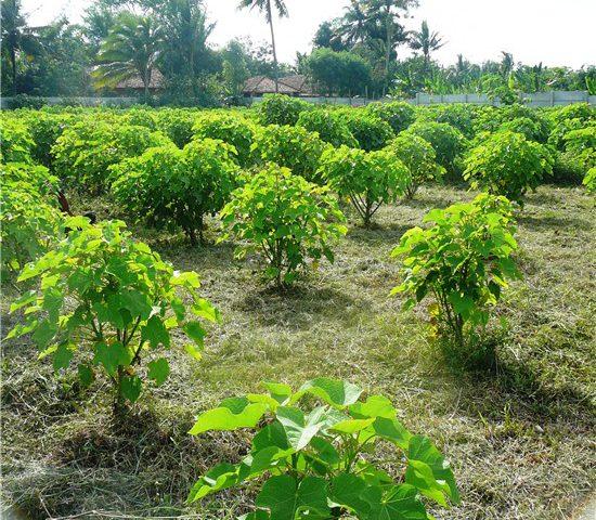 kebun-jarak  - kebun jarak 550x480 - Pemberdayaan Ekonomi Umat Melalui Pesantren