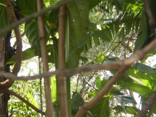 Batang Pohon Mengkudu/Morinda citrifolia L. (koleksi Pribadi)