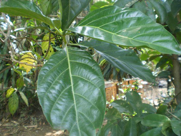 Daun Mengkudu/Morinda citrifolia L.