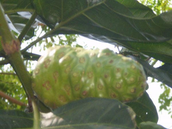 Buah Mengkudu/Morinda citrifolia L. sesudah masak (Koleksi pribadi)  - mengkudu 05 600x450 - Apa itu Buah Mengkudu?