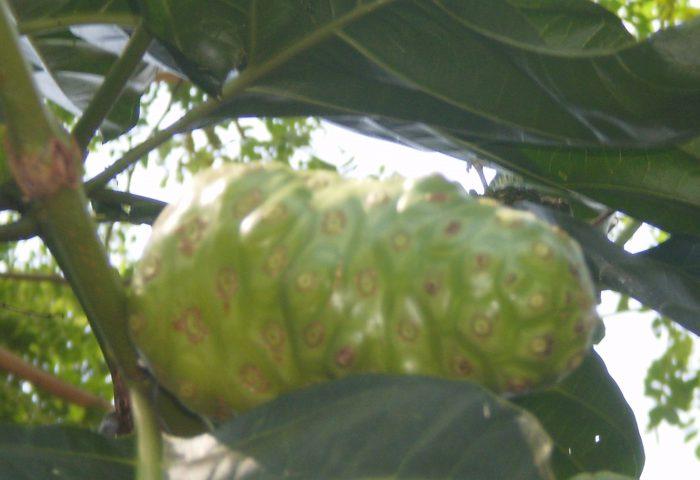 Buah Mengkudu/Morinda citrifolia L. sesudah masak (Koleksi pribadi)